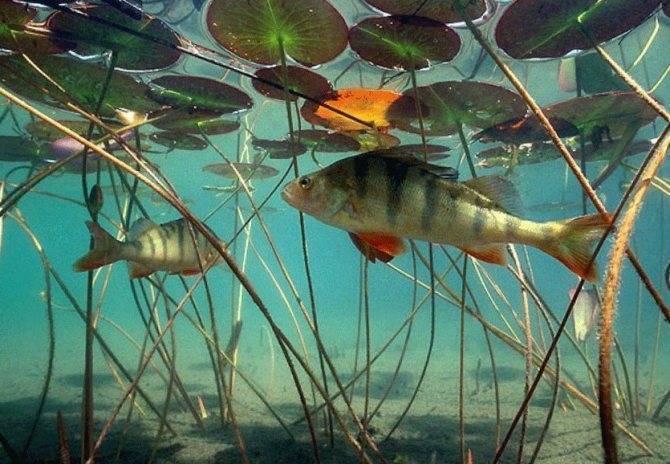 Как правильно ловить рыбу когда начинается нерест окуня весной