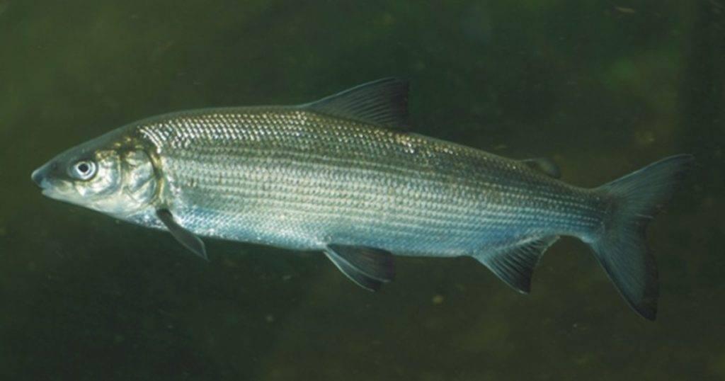 Пелядь (сырок): описание рыбы, её особенности жизни, ловля и выращивание
