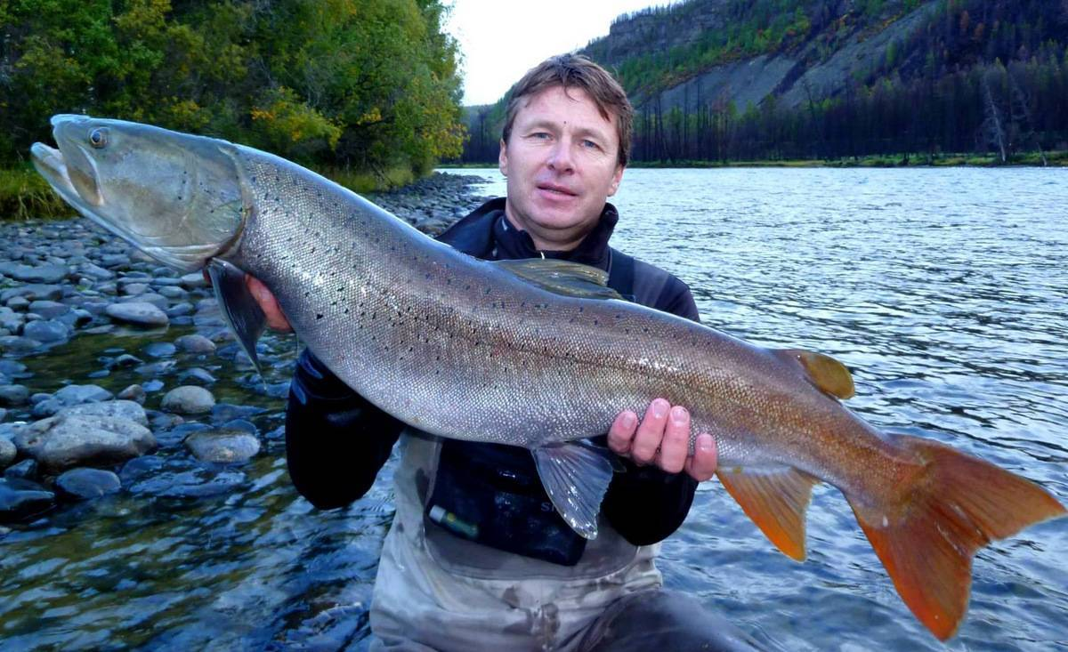 Рыба «Таймень» фото и описание