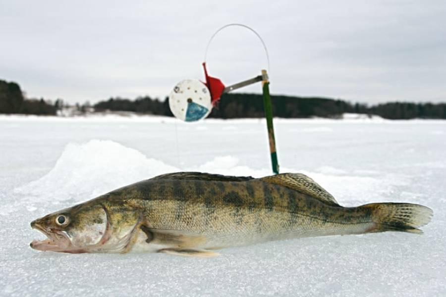 ᐉ ловля судака на жерлицы зимой - ✅ ribalka-snasti.ru