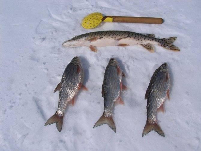 Чебак рыба фото и описание