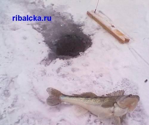 Ловля судака зимой на жерлицы: оснастка, наживки, техника и тактика зимней рыбалки