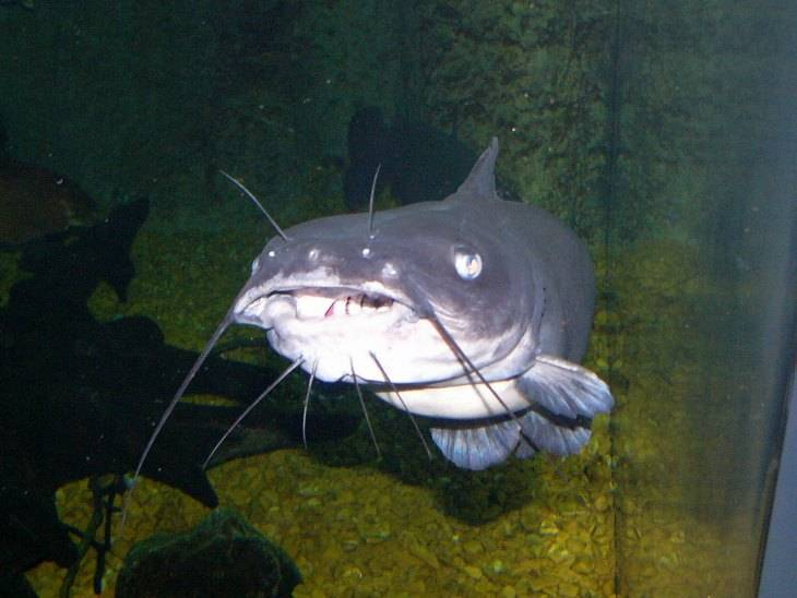 15 лучших видов аквариумных сомов | аквариумные рыбки