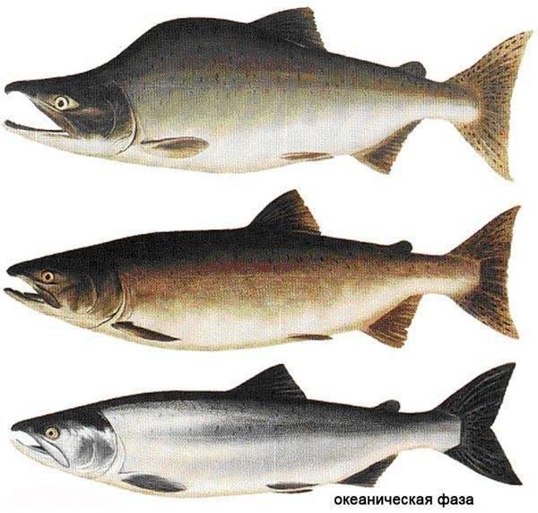 Описание рыбы голец, польза и вред, как лучше приготовить