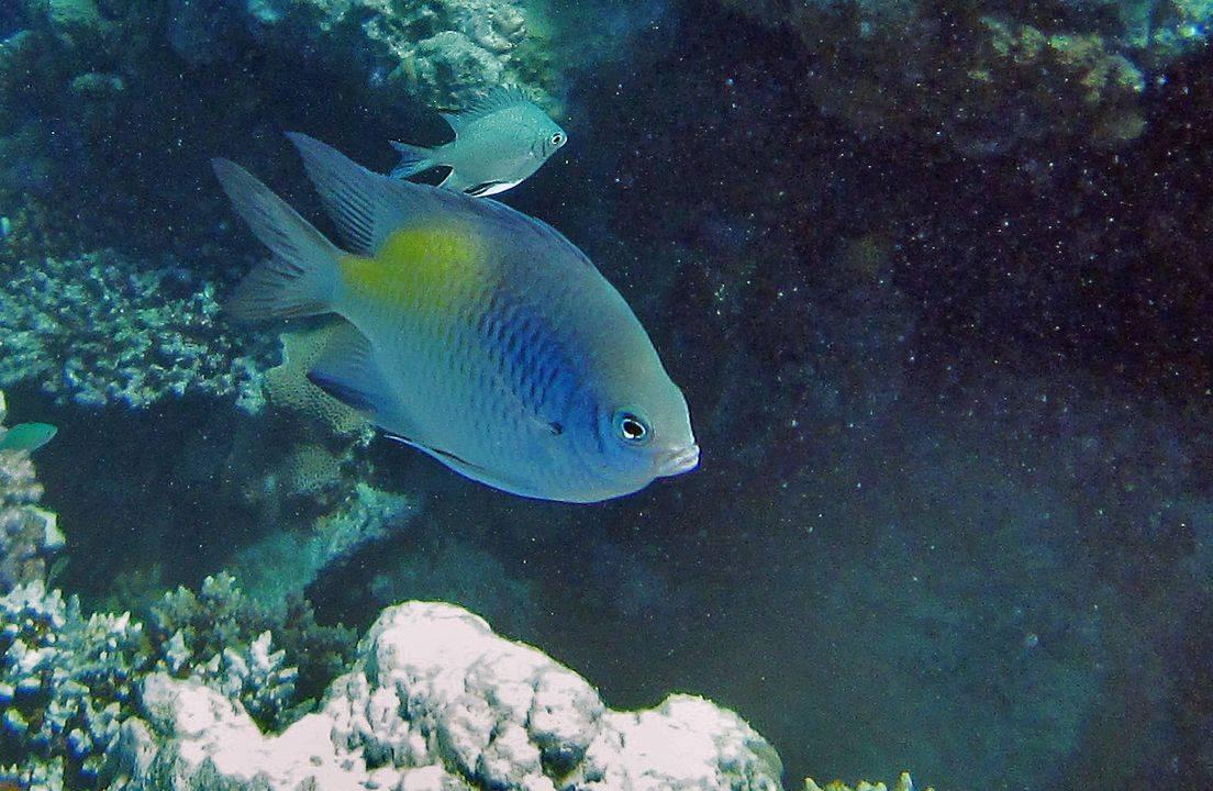 «Рыба-ласточка» фото и описание