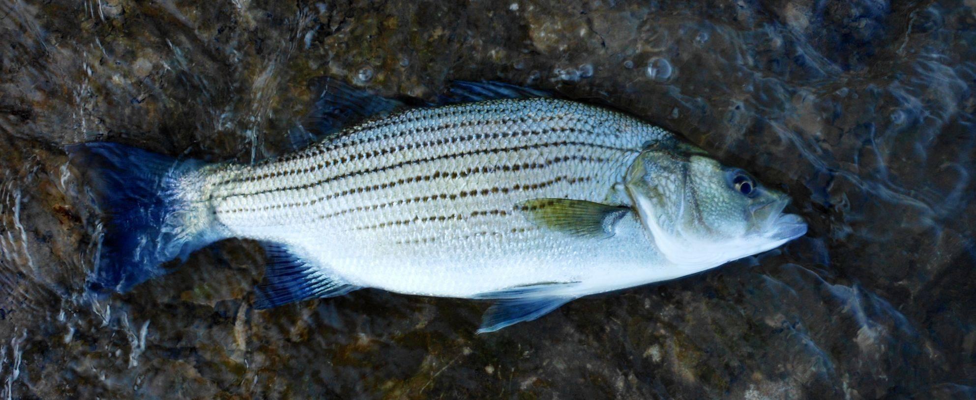 Полосатые аквариумные рыбки: фото с названиями и описанием