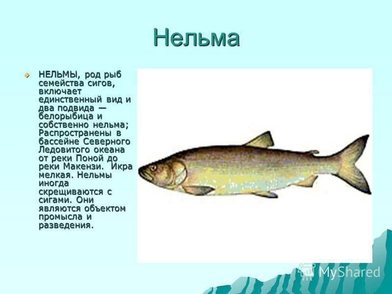 Белорыбица что это за рыба, и как её готовить — 6 рецептов приготовления царской рыбы - rus-womens
