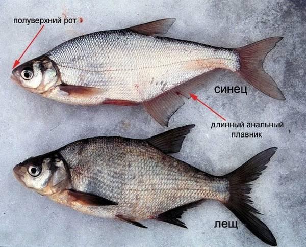 Густера: 115 фото рыбы, отличительные черты, нерест и распространение вида