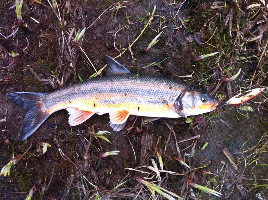 Рыба красноперка: описание, питание, виды с фото