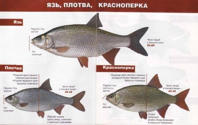 Рыба плотва: фото и описание рыбы