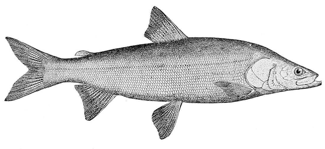 Нельма: описание рыбы, фото; где обитает рыба, разведение и особенности ловли нельмы