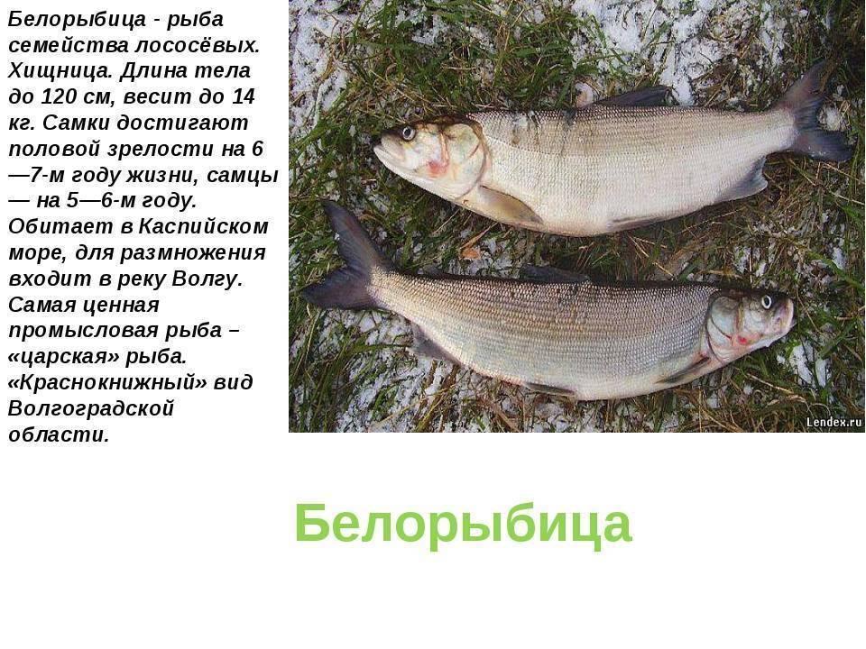 Белорыбица: что за рыба, как готовить, рецепты. блюда из белорыбицы :: syl.ru