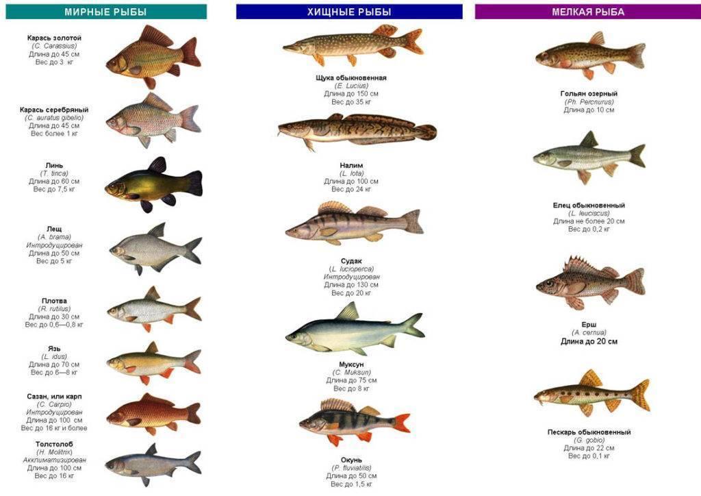 Виды речной рыбы
