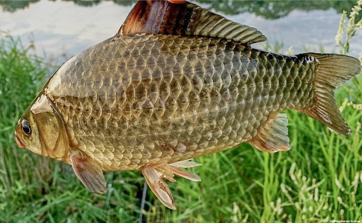 Рыба карп: как выглядит игде обитает
