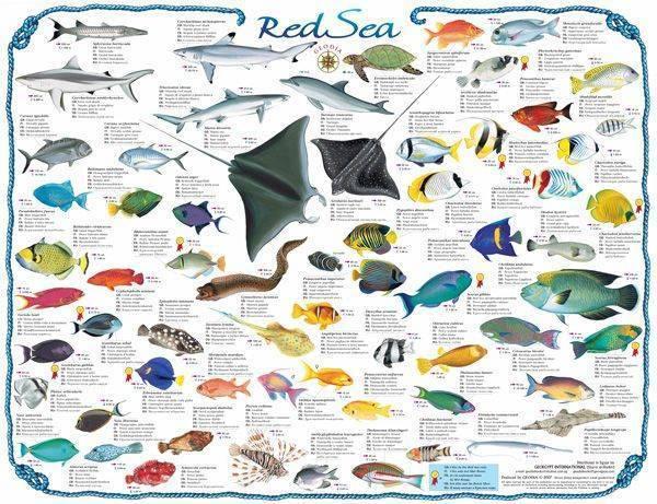 Золотистый спар или дорада: образ жизни рыбы, фото