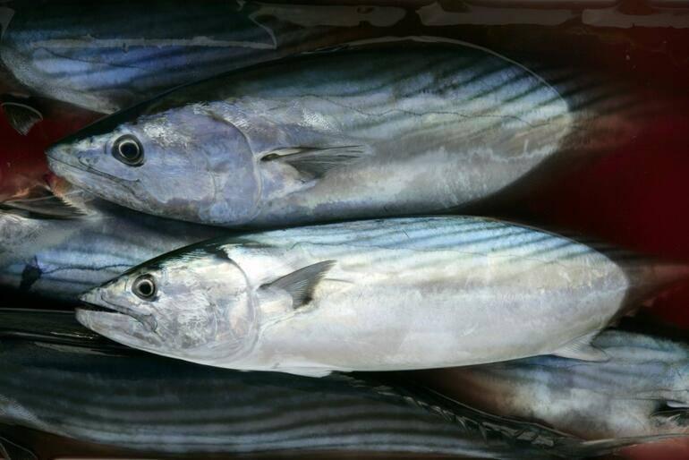 Рыба пеламида содержание полезных веществ, польза и вред, свойства