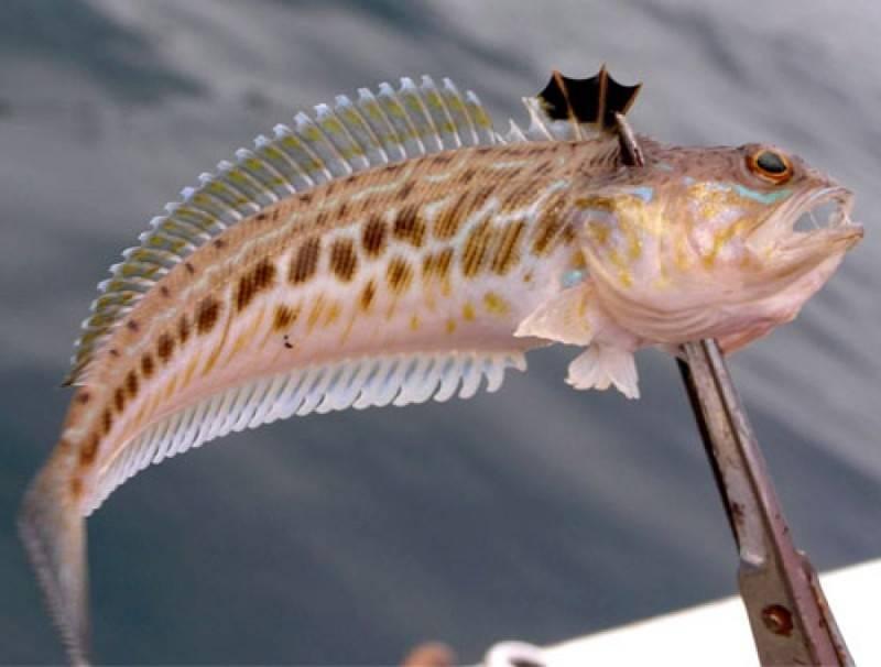 Рыбы средиземного моря, которые могут быть опасны для человека