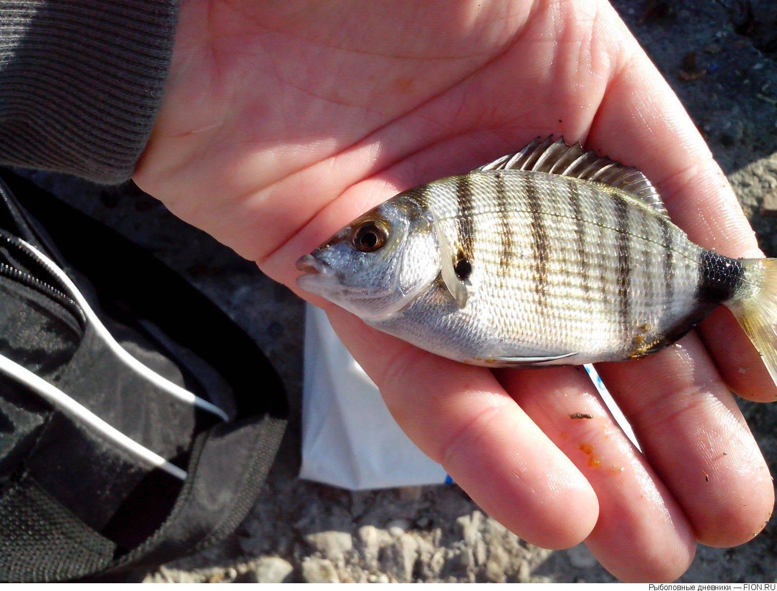 Карась: фото карася. рыба карась, виды карася: золотой и серебрянный. где обитает и чем питается карась.