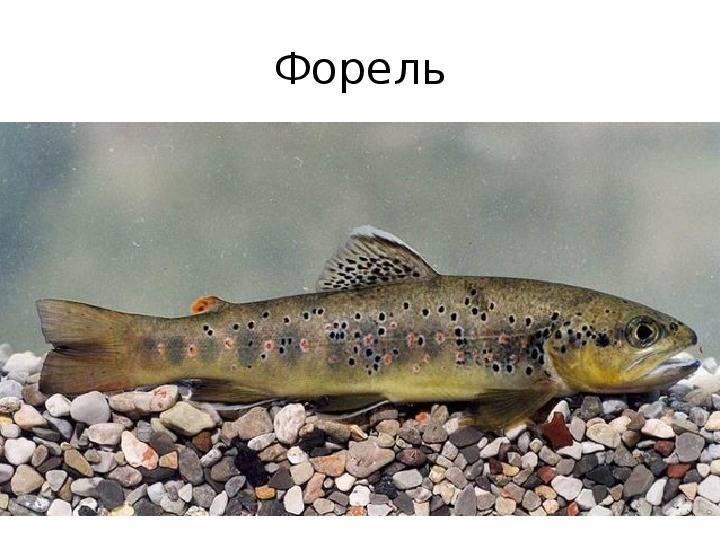 Кумжа рыба: а так же форель морская и озерная форель, описание кумжи