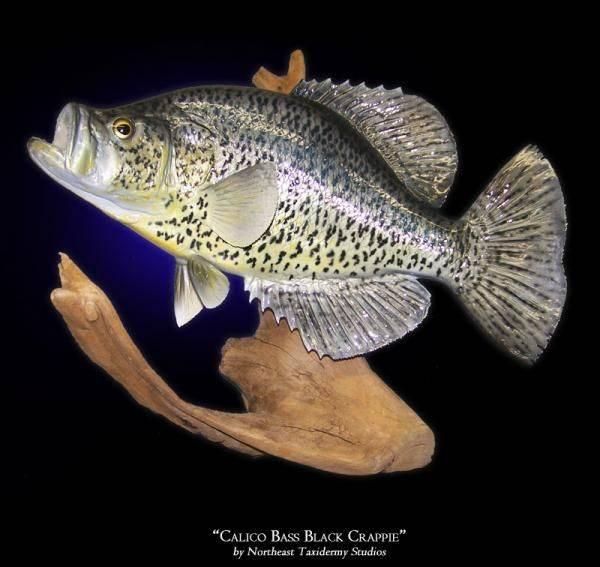 Расборы - виды, фото и описания рыб