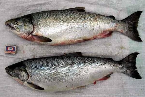Рыба кижуч