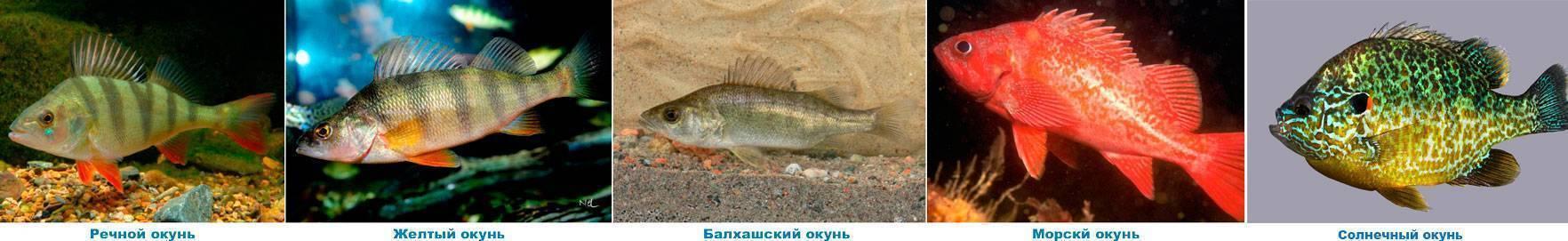 Паразиты и болезни речной рыбы опасные и заразные для человека: какие и как уничтожить