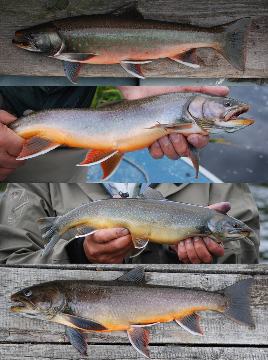 Рыба голец. виды гольцов – рыбалке.нет