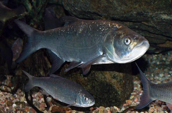 Жерех - читайте на сatcher.fish