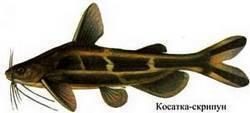 Касатка сиамская: содержание,описание,фото,размножение | аквариумные рыбки