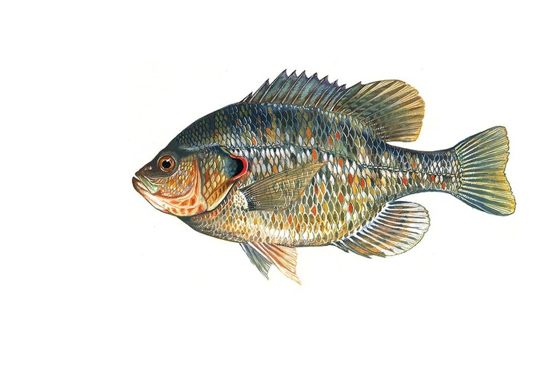 Рыба «Окунь солнечный красноухий» фото и описание