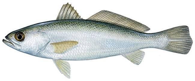 Горбыль — способы ловли, необходимая оснастка и советы как и на что ловить. 85 фото рыбы и видео особенностей ловли