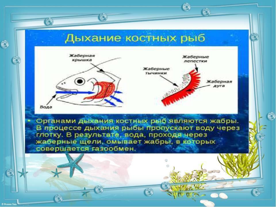 ✅ как дышат рыбы в воде. чем дышат рыбы в воде - elpaso-antibar.ru