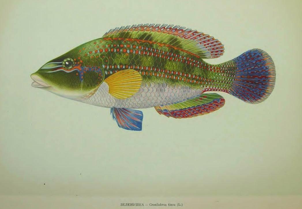 Лапина, рулена, губан, зеленуха… рыба семейства окуневых: описание, фото, промышленная ценность | zdavnews.ru | zdavnews.ru