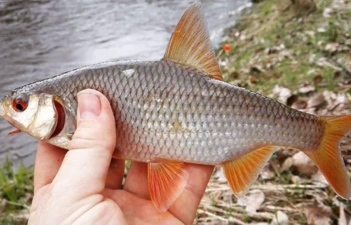 Где водится рыба чебак, и как её ловить