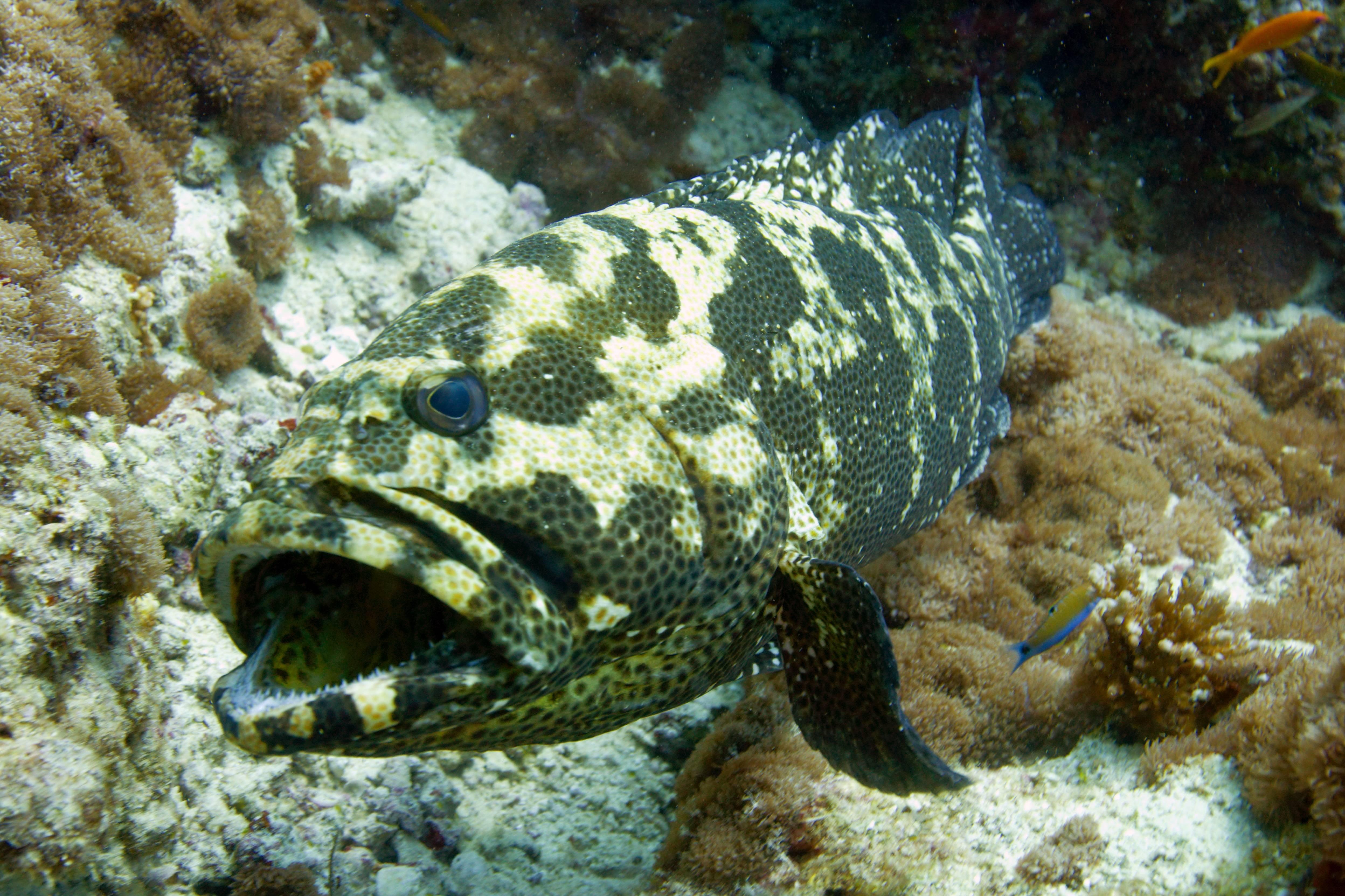 Рыба групер: фото, размеры, рецепты приготовления