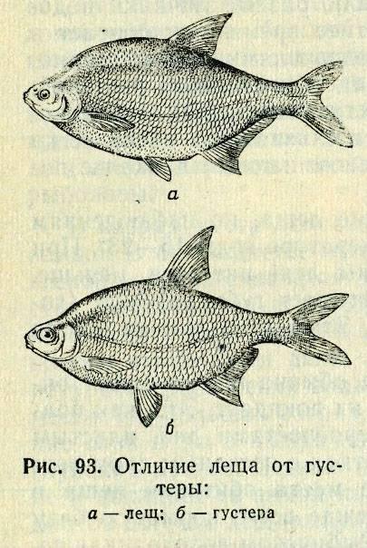 Firstfisher.ru – интернет-журнал о рыбалке и рыболовах. в чем разница между лещом и подлещиком?