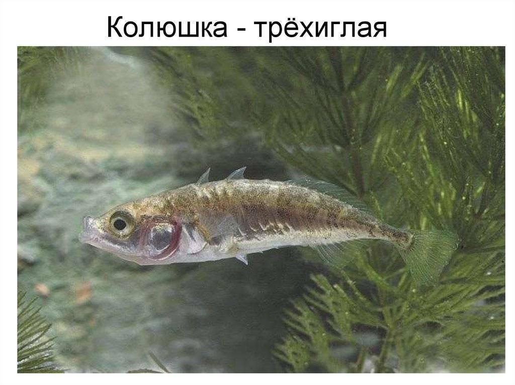 Рыба колюшка: среда обитания, внешние характеристики, образ жизни, размножение колюх