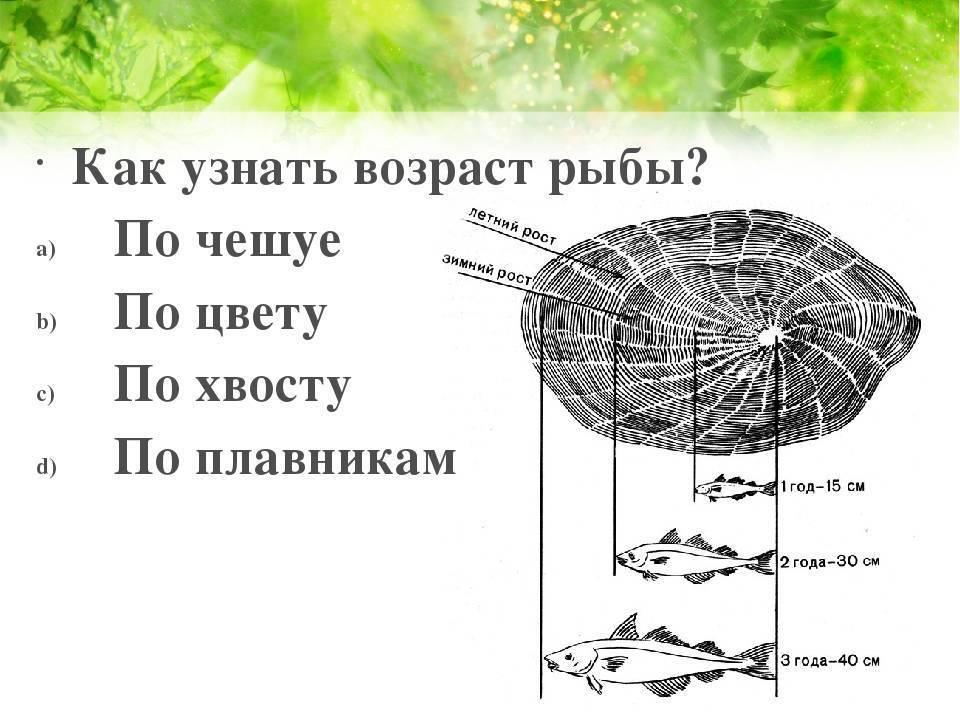 Как определить возраст рыбы – описание способов
