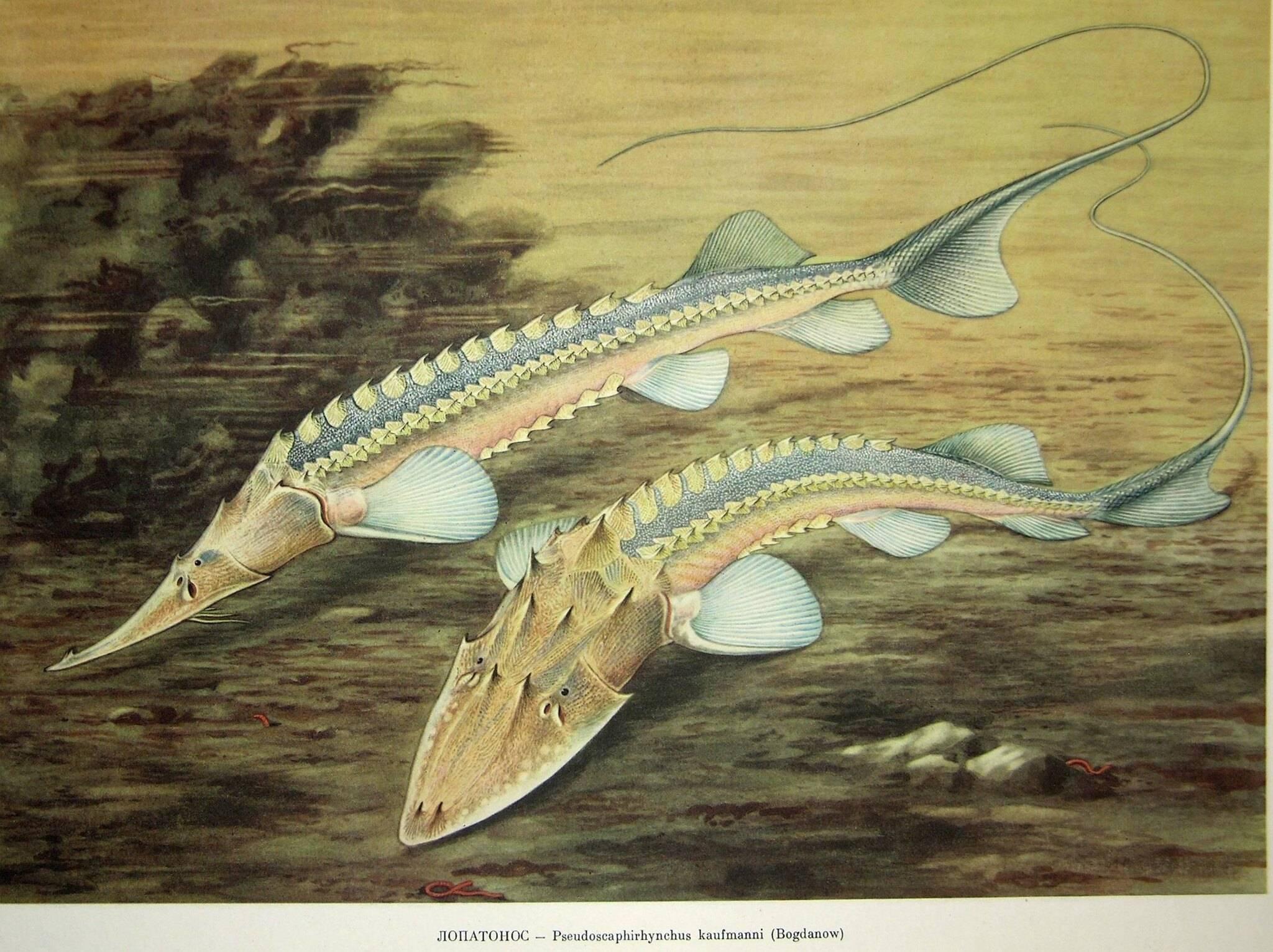 Рыба лопатонос: краткое описание, фото