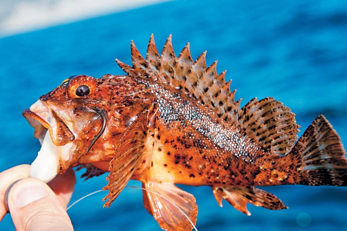 Морской дракон – опасная и ядовитая рыба черного моря - перекоп.ру