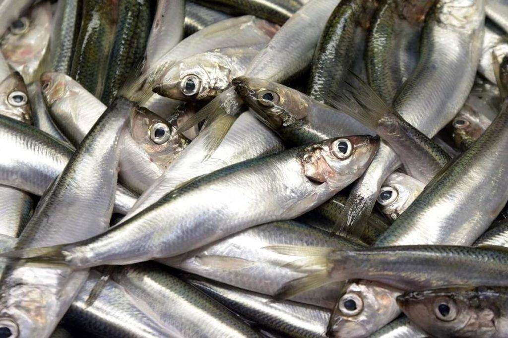 Рыба салака польза и вред