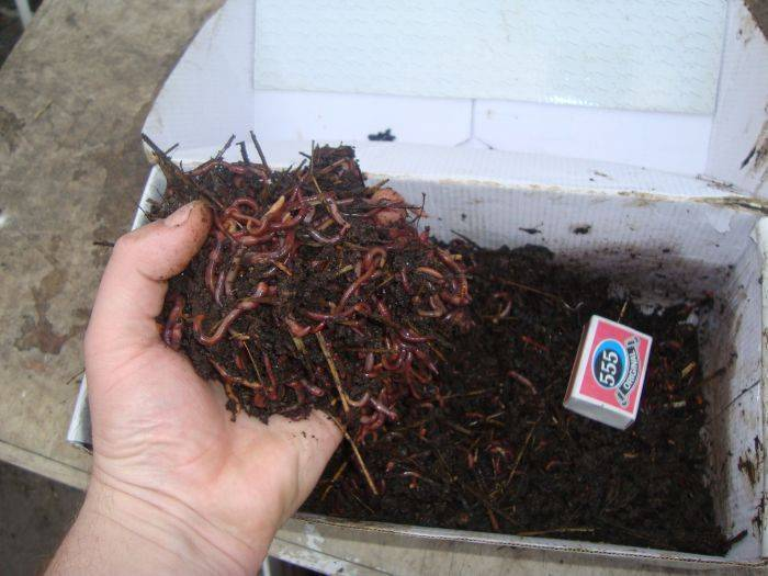 Чем кормить навозного червя в домашних условиях