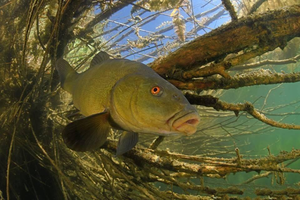 Рыба линь: описание, где обитает, когда клюет, как и на что ловить?