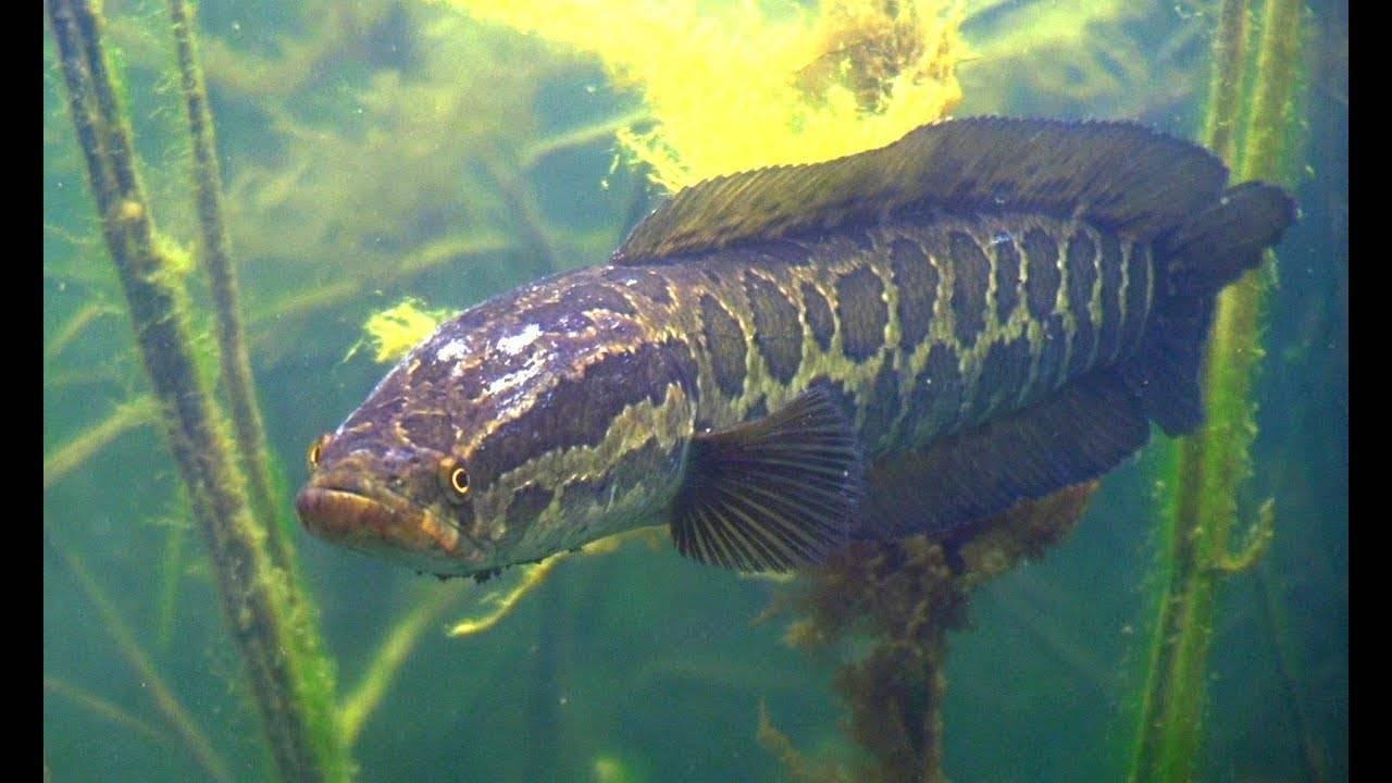 Рыба змееголов: как готовить, где обитает, особенности рыбалки