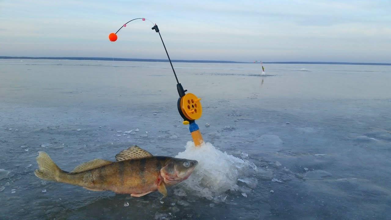 Ловля берша зимой — снасти и тактика поимки