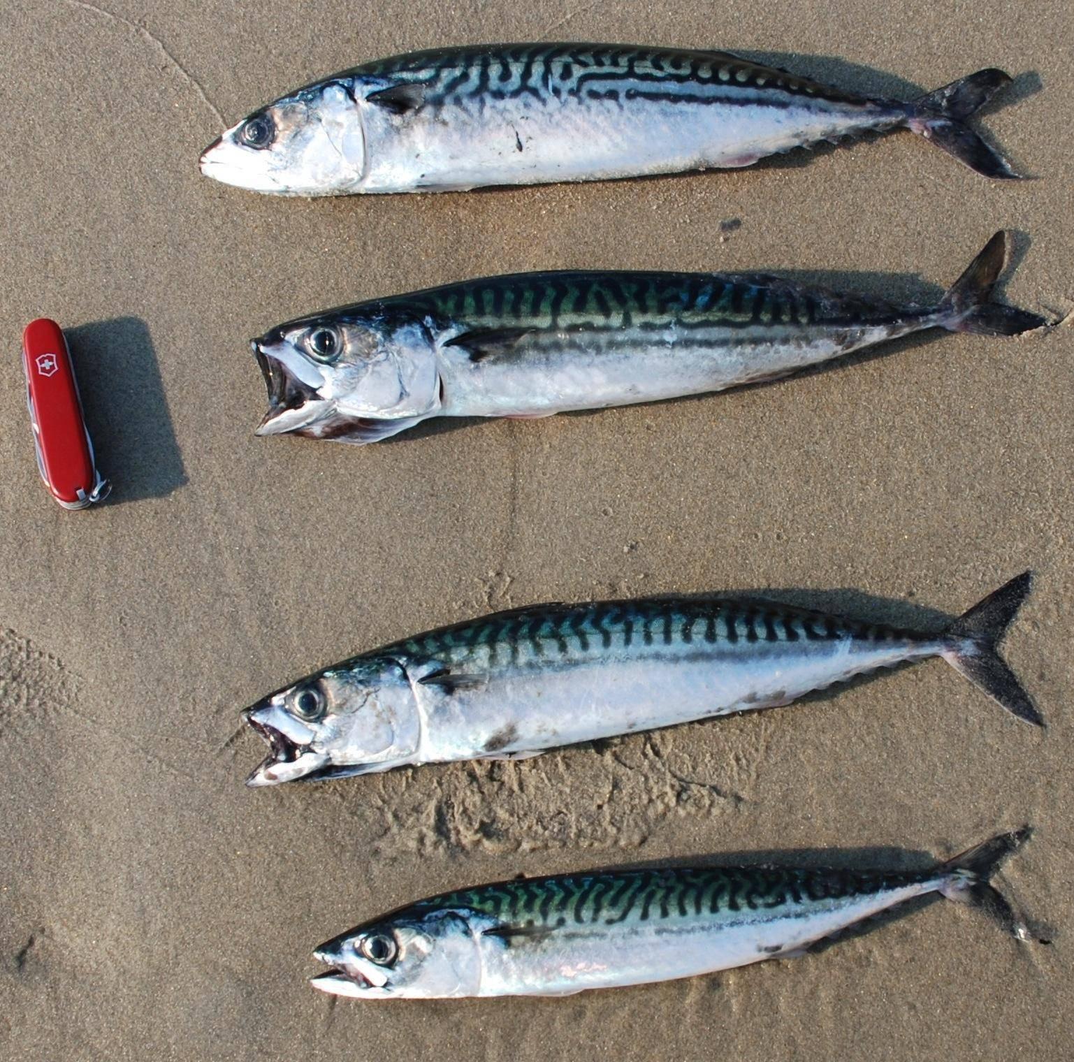 Рыба макрель и скумбрия, где обитают и чем отличаются?