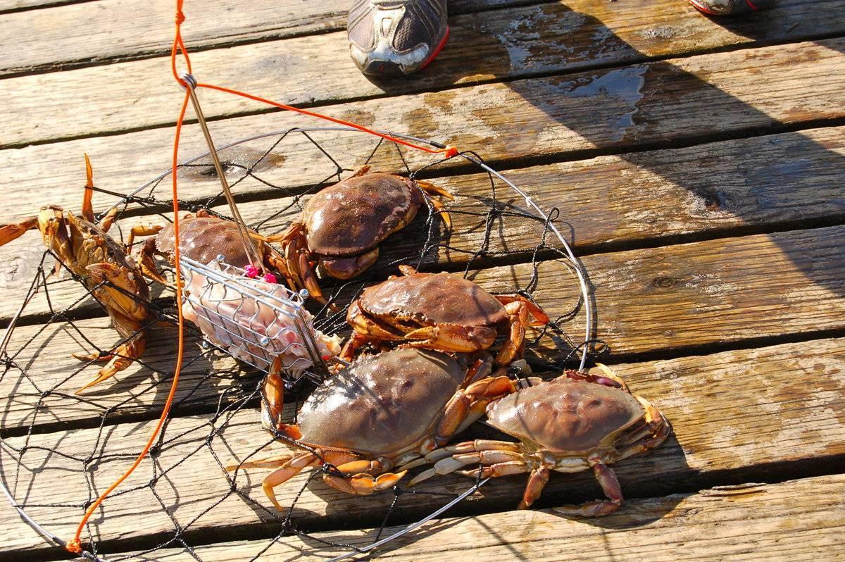 Как ловить крабов? как поймать на черном и в баренцевом морях? можно ли ловить камчатского краба? приманка для рыбалки и перчатки для ловли руками