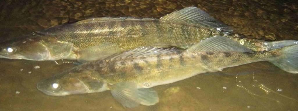 Судак. фото и описание. видео | рыбалка на судака