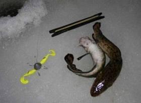 Ловля налима зимой на стукалку