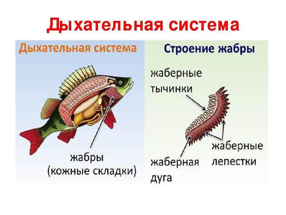 Чем дышат рыбы? какие приспособления для дыхания у них существуют? :: syl.ru